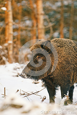 Female wild boar