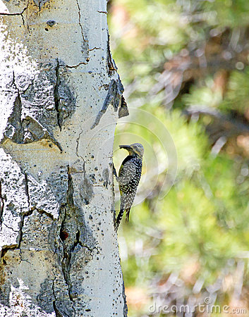 Female Williamson s Sapsucker Woodpecker