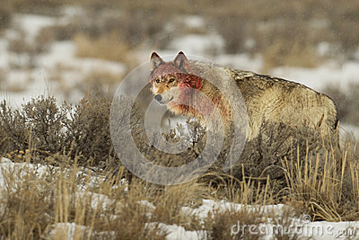 Female wolf Middle grey with bloody head