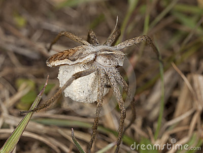 Female Wolf spider with eggs