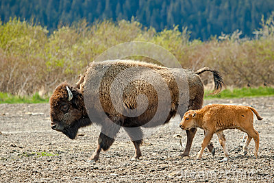 Female Wood Bison With Calf