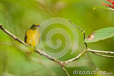 Female Yellow-Throated Euphonia