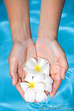 feminine hands holding fragrant frangipani flower