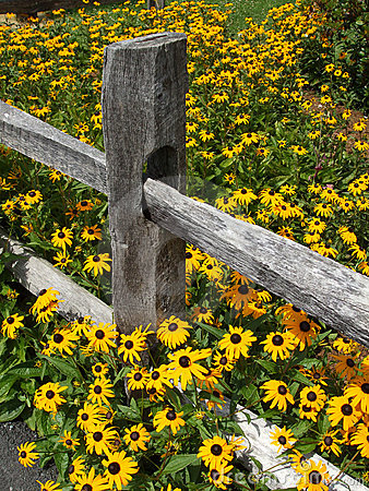 Fence and Yellow Flowers