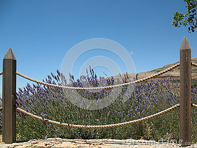Fenced Lavender Bush
