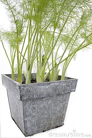 Free Fennel Royalty Free Stock Photos - 7172478