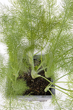 Free Fennel Royalty Free Stock Images - 7172499