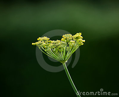 Fennel flower head