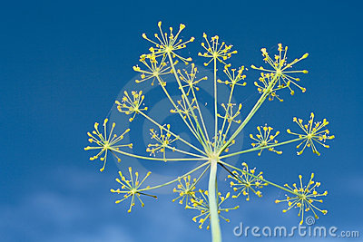 Fennel over blue sky
