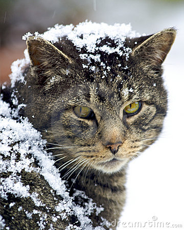 Feral cat covered in snow