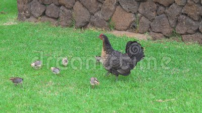 Feral Chicken en Kuikens die in Hawaï voeden stock footage