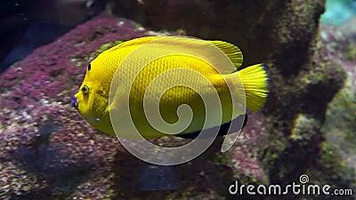 Fermeture d'un poisson-ange en terre cuite nageant sous l'eau, grand poisson jaune vif, aquarium tropical animaux domestiques banque de vidéos