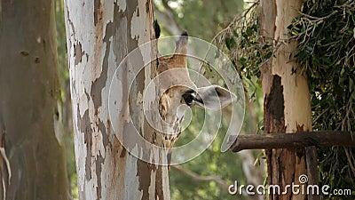 Fermeture d'une girafe mangeant les écorces d'un tronc d'eucalyptus par jour ensoleillé clips vidéos