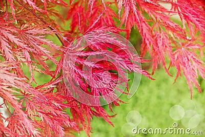 fermez vous de l 39 arbre d 39 rable japonais rouge photo stock image 45948171. Black Bedroom Furniture Sets. Home Design Ideas
