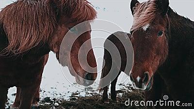 Fermez-vous vers le haut de filtrer le tir des visages des chevaux islandais clips vidéos