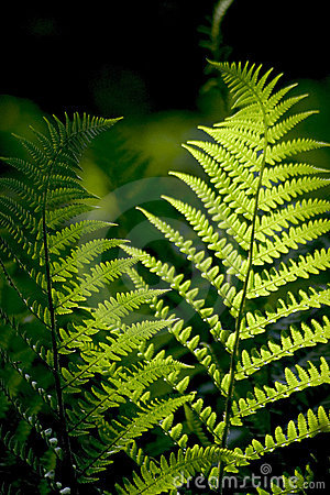 Free Fern Royalty Free Stock Images - 3728739