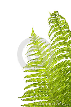 Free Fern Royalty Free Stock Photography - 37696517