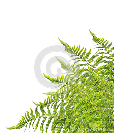 Free Fern Bush, Isolated On White Stock Photo - 44872290