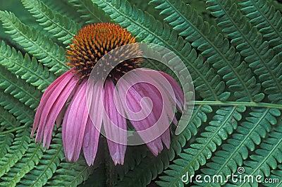 Fern & cone flower
