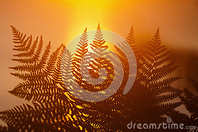 Fern frond in front of sunrise