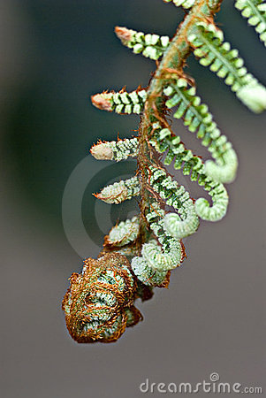 Fern Frond Unfolding Royalty Free Stock Images - Image: 3742599