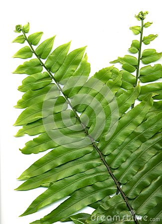 Free Fern Fronds Stock Photography - 24673732