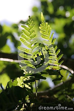 Fern fronds in sunlight