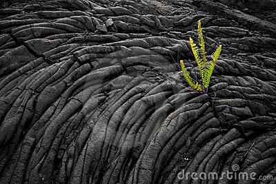 Fern growing on old lava field