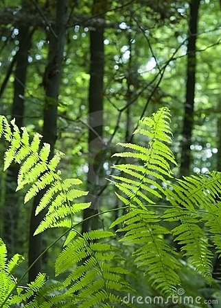 Free Fern In Lush Green Forest Royalty Free Stock Photography - 3357847