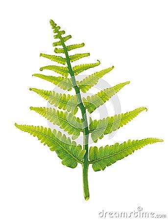 Free Fern Leaf Royalty Free Stock Photo - 13478235