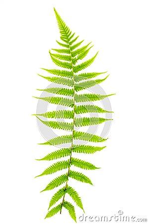 Free Fern Leaf Stock Photography - 49006102