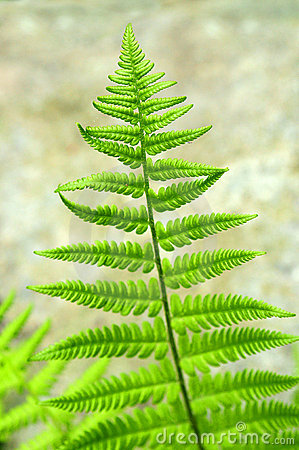 Free Fern Leaf Royalty Free Stock Photography - 5356797