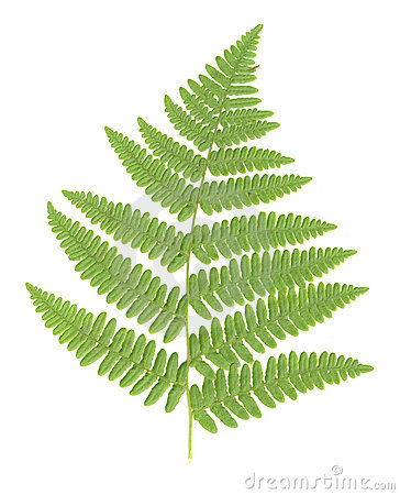 Fern Leaf isolated