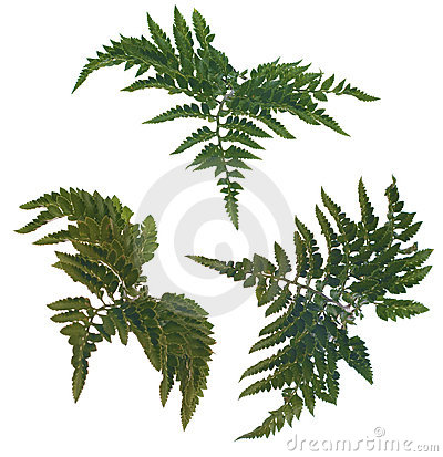 Free Fern Leafs Stock Photos - 14422783
