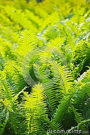 Fern leaves close-up