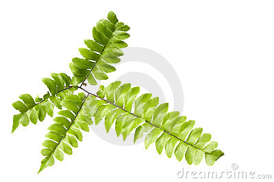 Fern leaves isolated