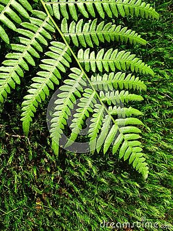 Fern moss on