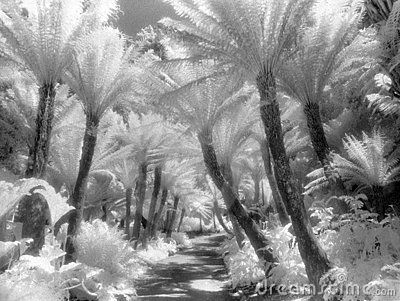 Fern Path in Infrared