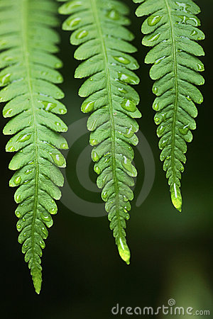 Fern and rain drops