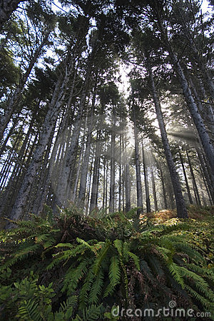 Free Fern Under Tall Trees Misty Stock Photography - 12423712