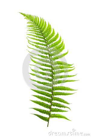 Free Ferns Royalty Free Stock Photo - 25389415