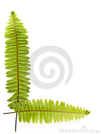 Ferns isolated on white