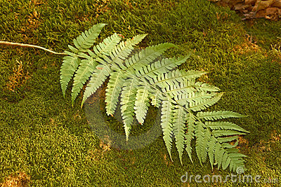 Ferns leaf on the moss