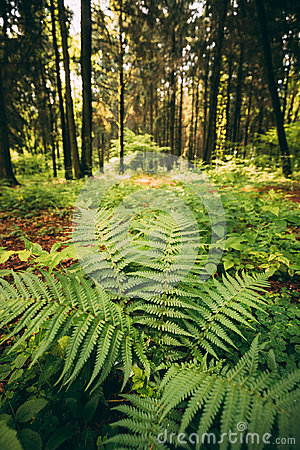 Free Ferns Leaves Green Foliage In Summer Coniferous Forest. Green Fern Bushes In Park Between Woods, Royalty Free Stock Photos - 98167118