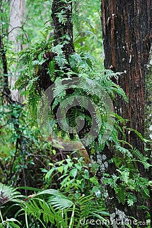 Ferns in a Pristine Florida Swamp