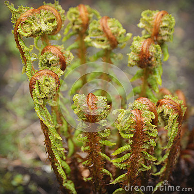 Free Ferns Uncurling Royalty Free Stock Photos - 54037308