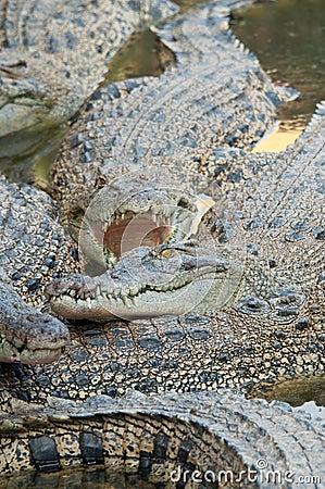 Ferocious Crocodile