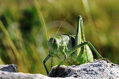 Ferocious green insect