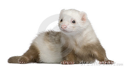 Ferret, 1 and a half years old