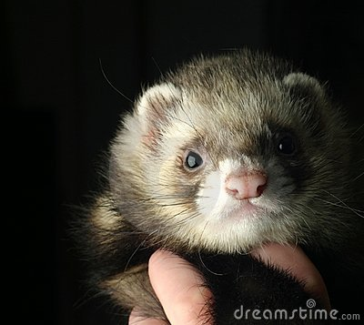 Free Ferret Royalty Free Stock Images - 1157269